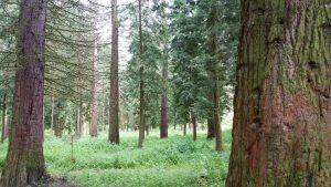 Mammutbaumwald im Ihringer Liliental.